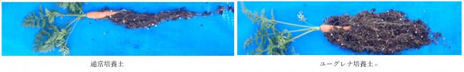 図4 ユーグレナ培養土を用いたミニニンジン栽培結果