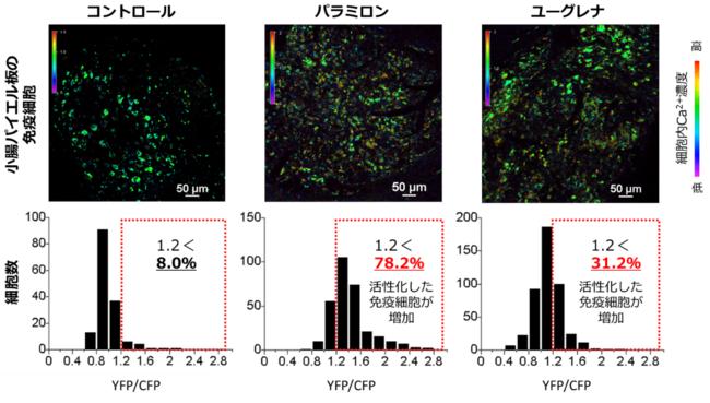 図1:小腸パイエル板の免疫細胞の活性化の変化