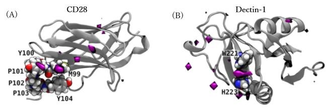 図2 β-1,3-オリゴグルカンと免疫受容体CD28との相互作用(紫色の表面はグルカンの濃度が周囲の濃度の30倍を超える領域を表す 白色:水素、灰色:炭素、青色:窒素、赤色:酸素、黄色:硫黄を表す)