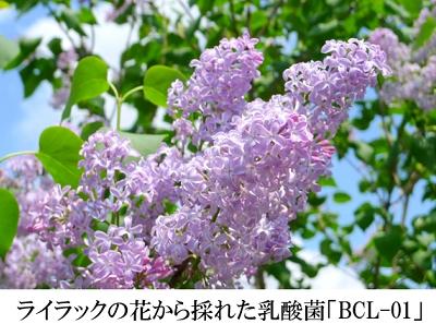 ライラック01乳酸菌_ライラックの花