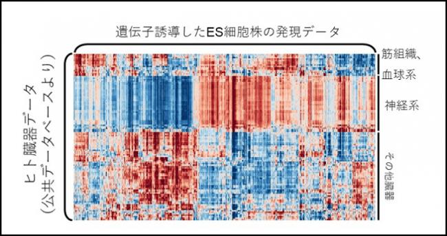 【図2】遺伝子誘導したES細胞株とヒト組織の相関を算出し、可視化