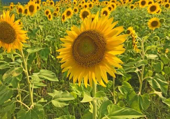 昨年のひまわり畑のようす。昨年も8万本ほひまわりが咲いた。