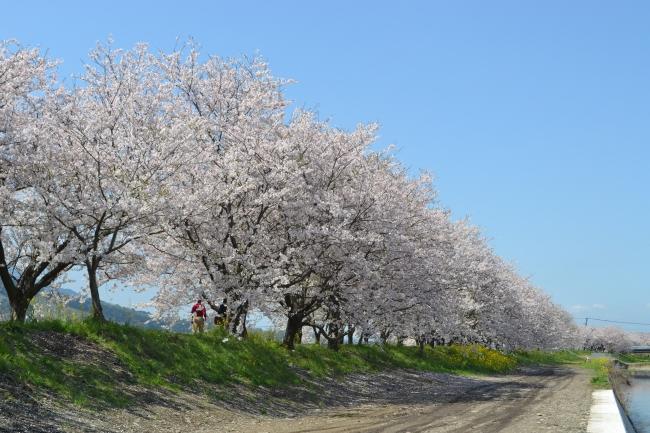 うきは市:千本桜(イメージ)