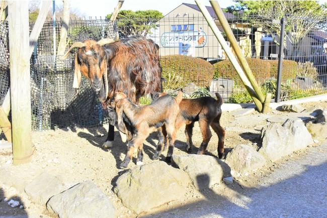 ミミナガヤギの双子の赤ちゃん