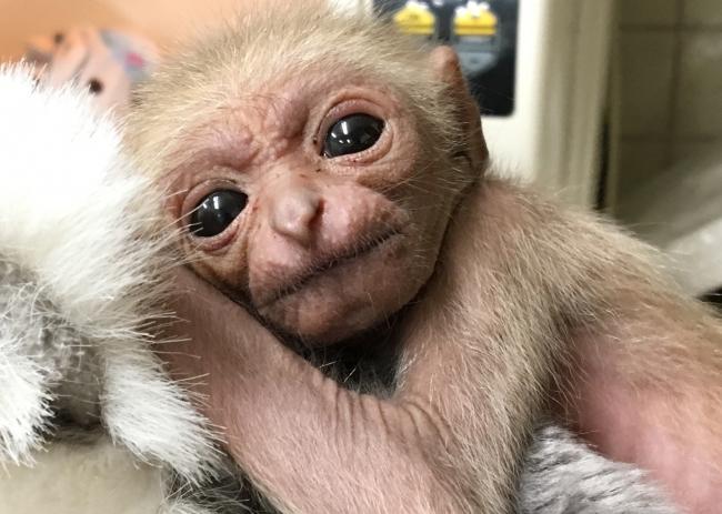 シロテテナガザル赤ちゃん