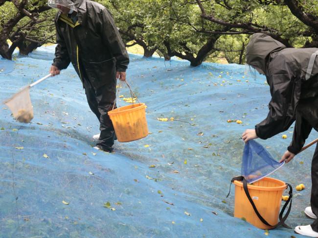 完熟梅の拾い収穫(熊平の梅農園)