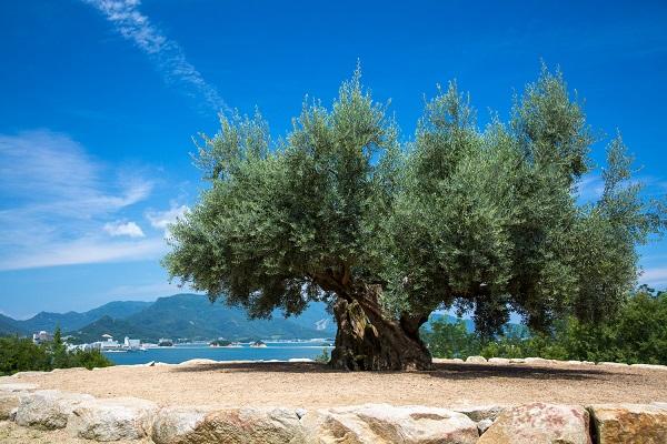 小豆島「樹齢千年のオリーヴ大樹」