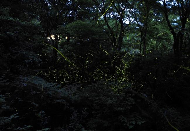 庭園「華清園」で舞うホタル イメージ