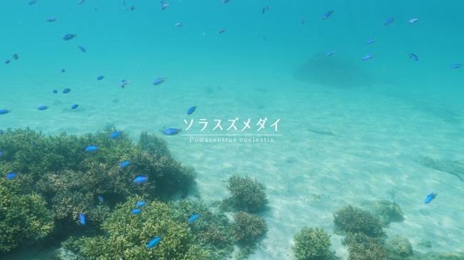 ソラスズメダイはじめ昼夜45種類の海洋生物が登場
