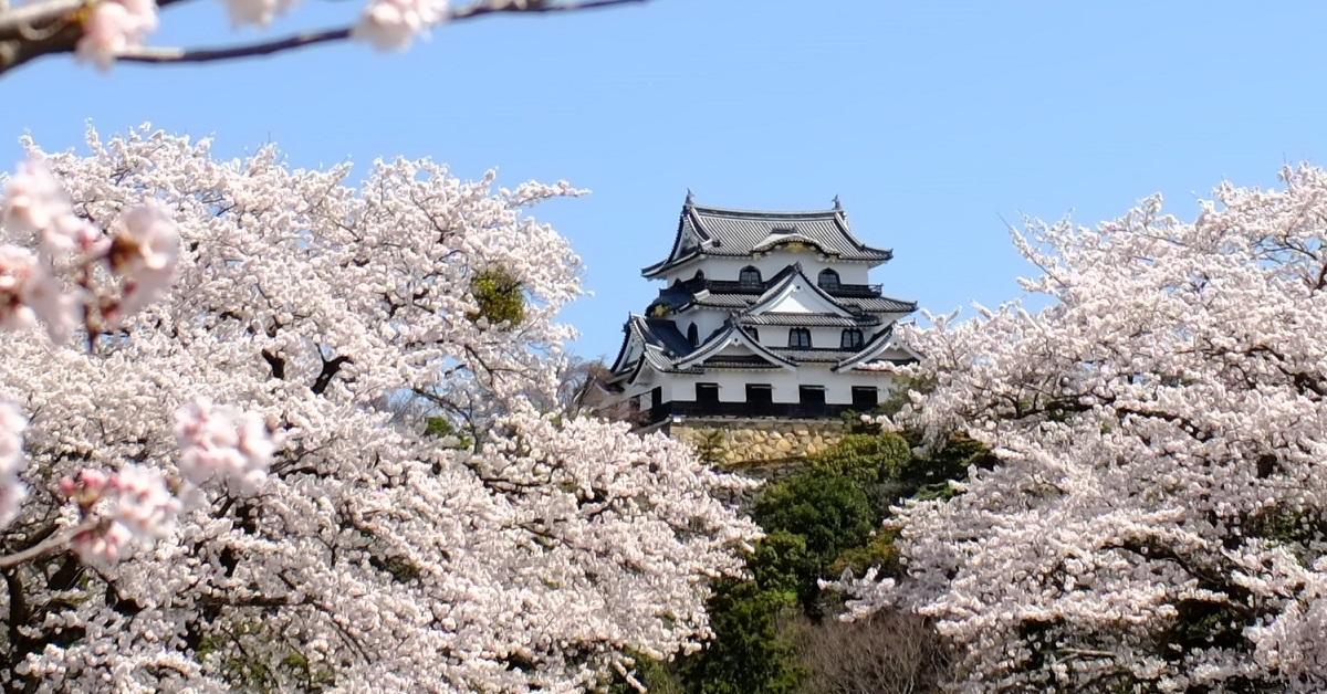 咲き誇る8品種1,100本余の桜。いよいよ『彦根城桜まつり』が3月30日(土)より開催。好評のライトアップも実施!!|滋賀県彦根市のプレスリリース