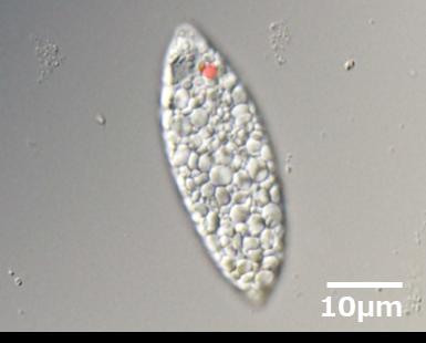 ユーグレナグラシリスEOD-1株顕微鏡写真