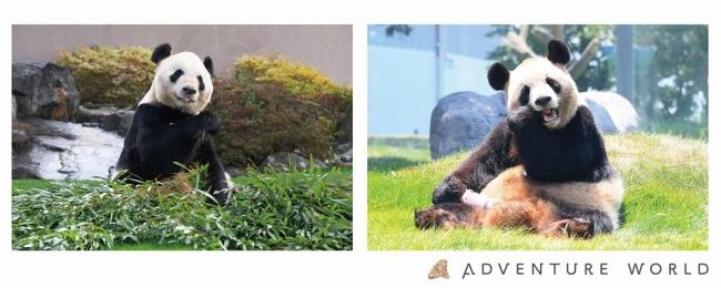ジャイアントパンダの画像 p1_19