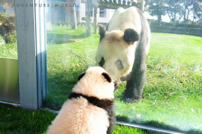 ジャイアントパンダの画像 p1_21