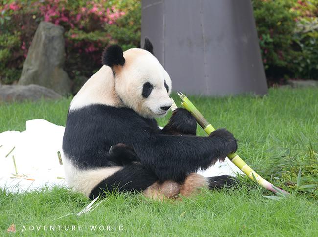 ジャイアントパンダの画像 p1_26