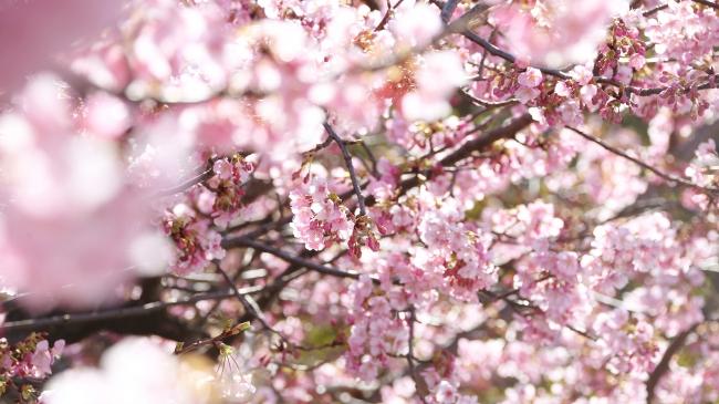 春を招来する桜の樹