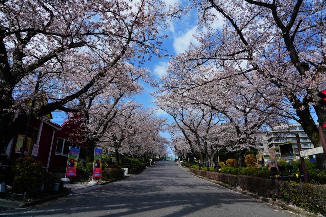 「桜並木」