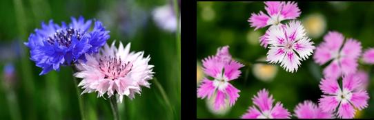 (左)貸出画像「矢車草」/(右)貸出画像「なでしこ」