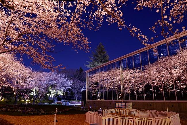 貸出画像「夜桜びより2.」