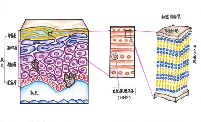 ヒトの皮膚構造とラメラ