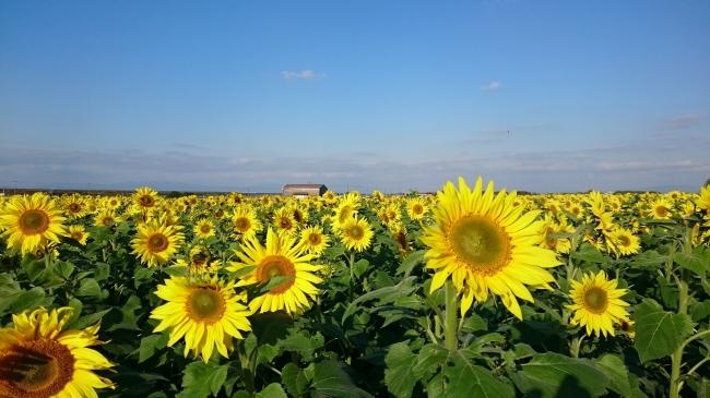過去の秋の柳川ひまわり園開花状況