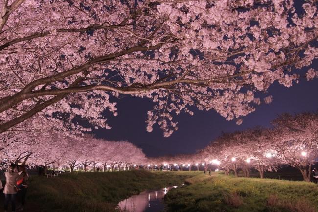 桜満開の並木道