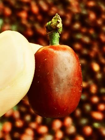 ゲイシャコーヒーの果実。今までにない『甘さと香り』がこの果実の中の種にあります。