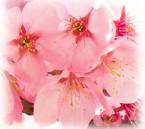 ヤマザクラ花エキス