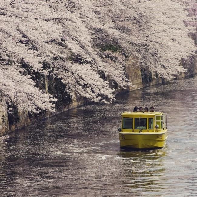 目黒川、月島川の水上から観る桜をお楽しみいただけます
