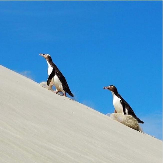 絶滅危惧種のイエロー・アイド・ペンギン