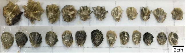 上段:シカメガキとマガキの三倍体交配種 下段:シカメガキとマガキの二倍体交配種  同じ交配種であっても染色体セット数によって外形が変わる傾向にあることが観察された