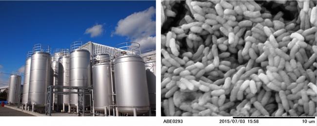 左培養タンク 右酢酸菌(顕微鏡写真)