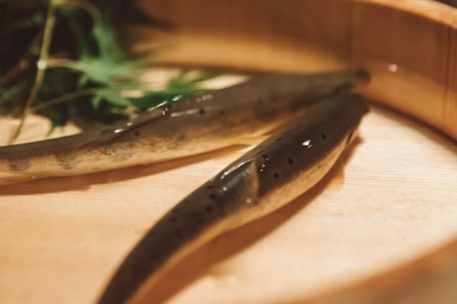 その美しい姿から清流の女王と呼ばれるヤマメ。小菅村は日本で初めてヤマメの養殖に成功