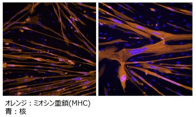 筋細胞の変化(ロート製薬)