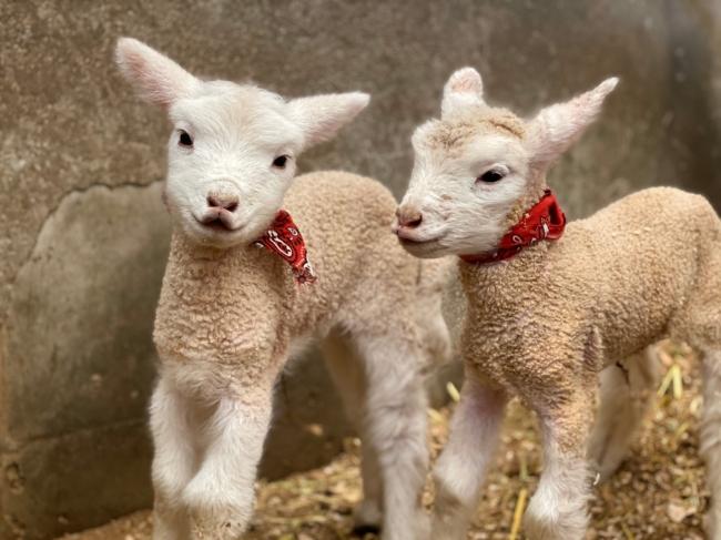 5年ぶりに羊が出産!とてもキュートな7匹の子羊たちが誕生しました(堺 ...