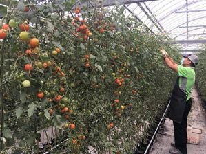 低段密植ミニトマト栽培