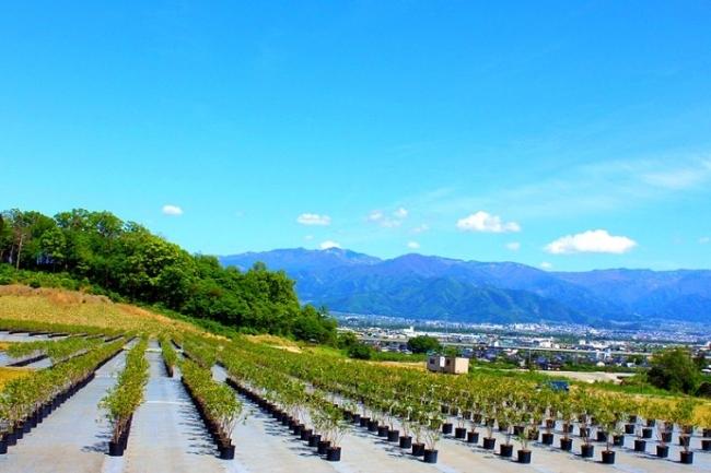 長野県北部に位置する「森の畑」の農園で栽培されるノーザン・ハイブッシュ系ブルーベリー