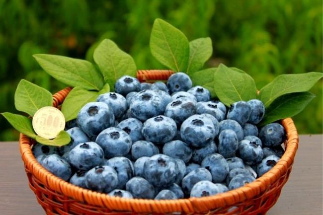 『森のサファイア』のブルーベリーは大粒で中には500円玉を超えるサイズも