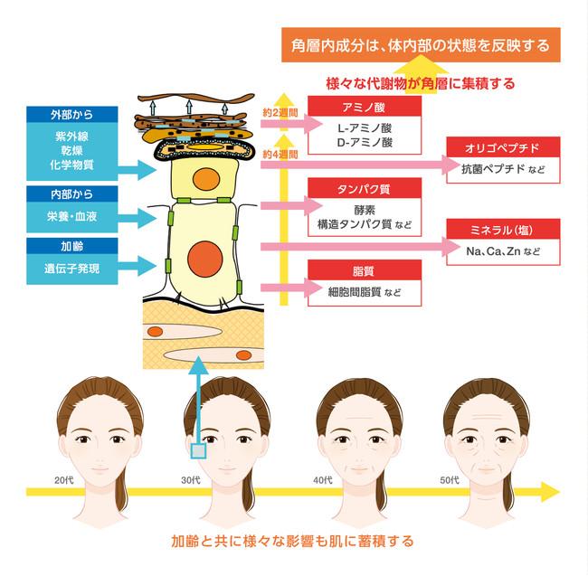 ※出典:皮膚イラスト図は「化粧品辞典」(初版、丸善株式会社)のP67「皮膚の模式図」より味の素(株)にて作図