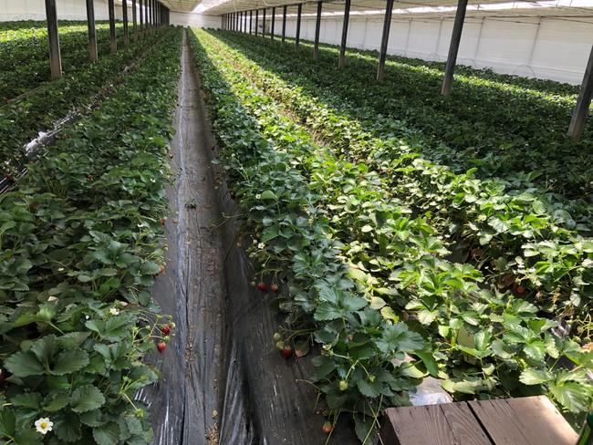 矢島農園イチゴ畑