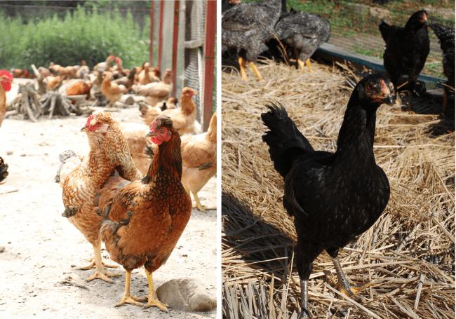 左)みやざき地頭鶏(じとっこ)、右)黒さつま鶏