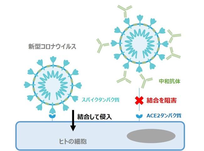 新型コロナウイルスの侵入経路と中和抗体の働き
