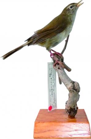 ウグイス雄 本剥製 所蔵:国立科学博物館