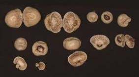 キッタリア 所蔵:国立科学博物館