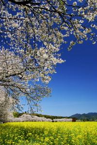 西都原(桜と菜の花の共演)