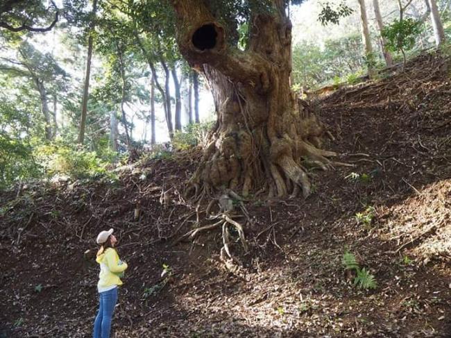鹿野山の巨木散策