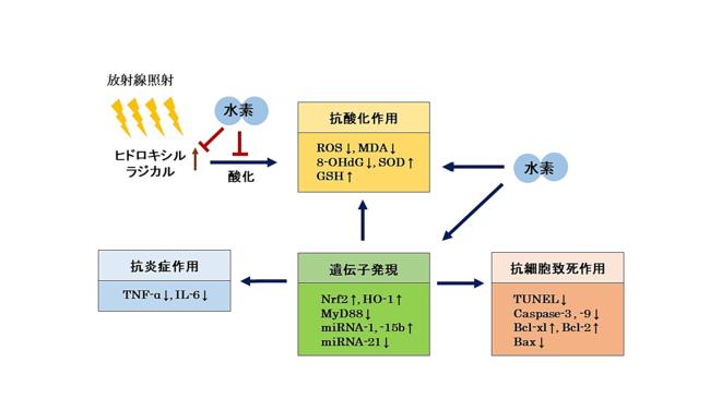 図1 水素の放射線防御効果のメカニズム仮説