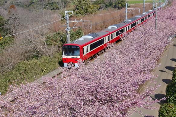 2月に三浦海岸駅周辺で満開をむかえる河津桜