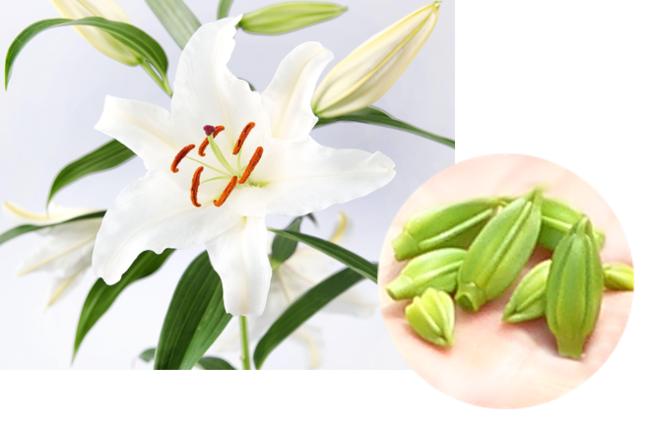 カサブランカの花とつぼみ