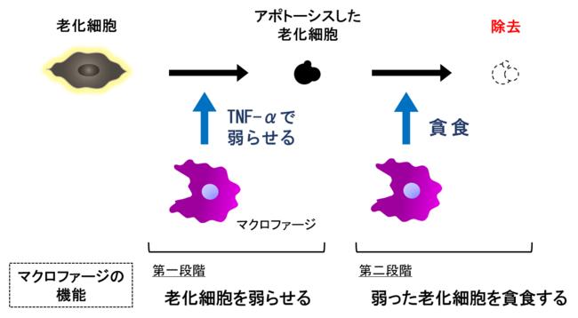肌の老化を加速させる「老化細胞の蓄積」のメカニズムを発見!|日本 ...
