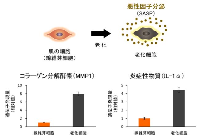 図2 老化細胞では悪性因子の分泌が増加する